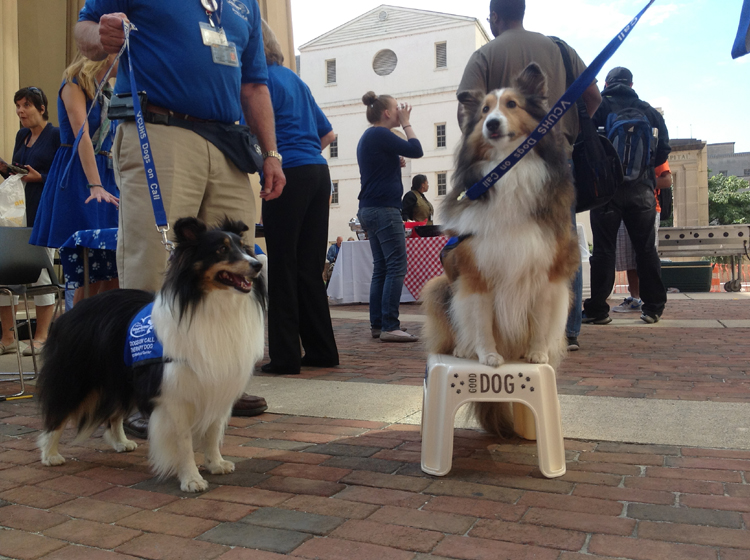 Shetland Sheepdogs Savannah (left) and Kayla stand ready to charm the crowd.